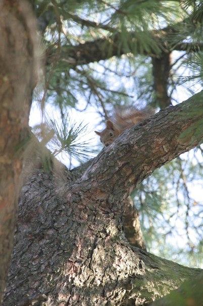 Белка на ветке сибирского кедра